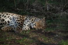 cheeta asleep