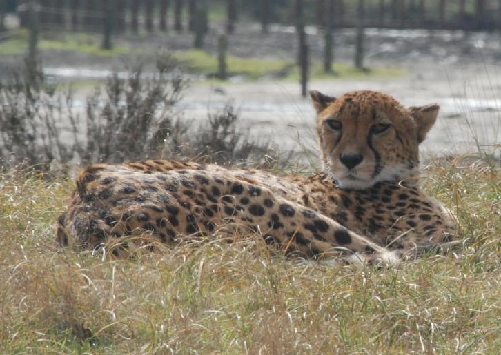 cheeta3
