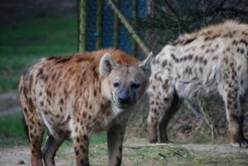 hyeannoas