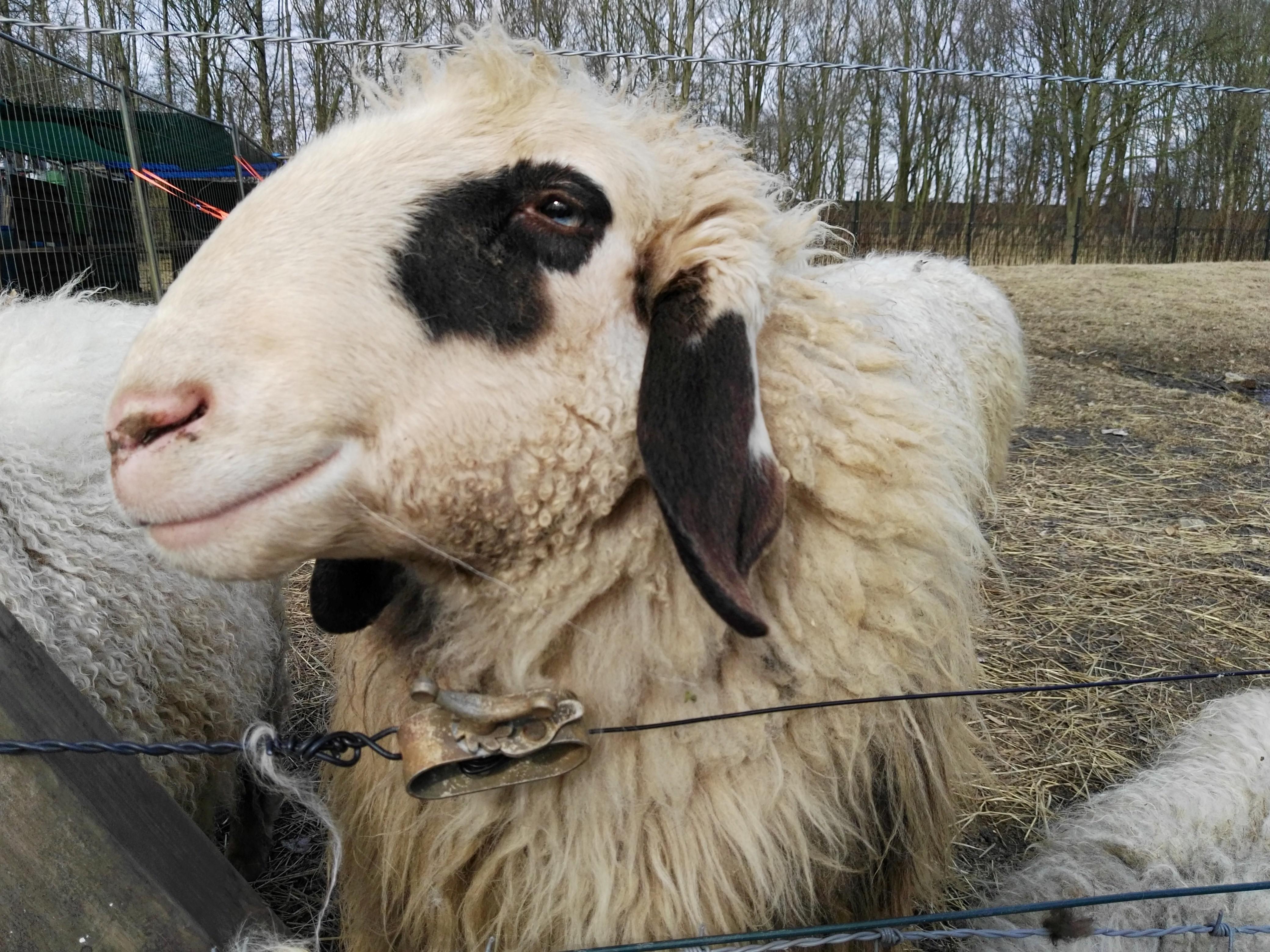 kinderboederij - rectangle eye sheep