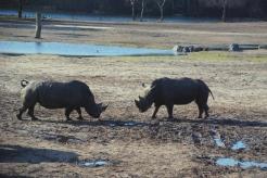 rhino engaging