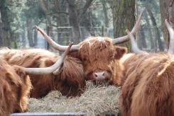 Scottish Highland somethings
